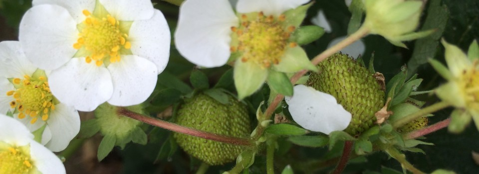 Strawberry flower May 24