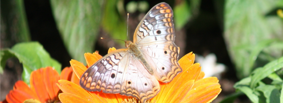 butterfly website pic